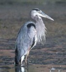 Great Blue Heron bird standing near water